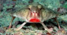 aneh_red_lipped_batfish_thumb.jpg