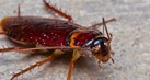 cockroaches-tahu1_thumb.jpg