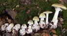 jamur-beracun-tahu1_thumb.jpg