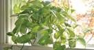 tanaman-tahu_thumb.jpg