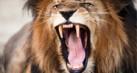 lion_roaring_thumb.jpg