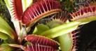 tanaman-karnivora-tahu1_thumb.jpg