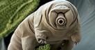 tardigrade-tahu1_thumb.jpg