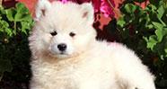 10 Jenis Anjing Termahal Dunia
