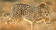 10 Hewan Paling Cepat di Dunia