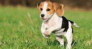 10 Anjing Terbaik Untuk Menjadi Teman Bermain Anak