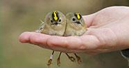 10 Burung Terkecil Di Dunia