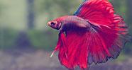 10 Jenis Ikan Hias Yang Bagus Untuk Dipelihara