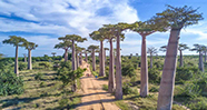 10 Pohon Terkenal Yang Ada Di Dunia