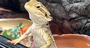 10 Reptil Yang Aman Untuk Dijadikan Peliharaan
