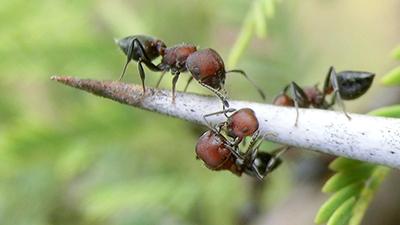 Ada Apa Dengan Bullhorn Acacia Ant Misteri Dictio Community