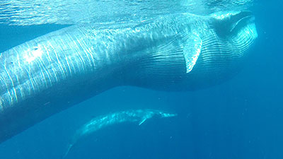 Omura whale
