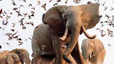 gambar gajah si hewan tak pernah lupa