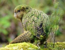 Burung Tidak Bisa Terbang Kakapo