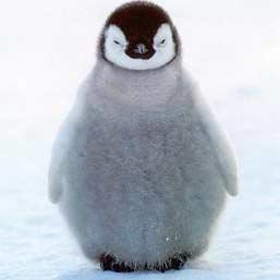 Burung Tidak Bisa Terbang Penguin