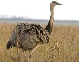 Rhea Burung yang tidak bisa Terbang