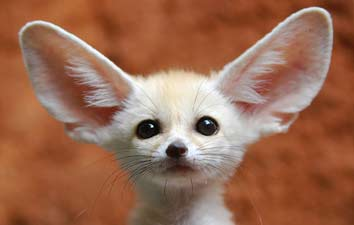 hewan unik fennec fox