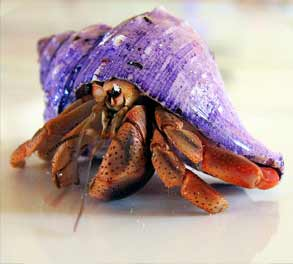 hermit crab hewan unik