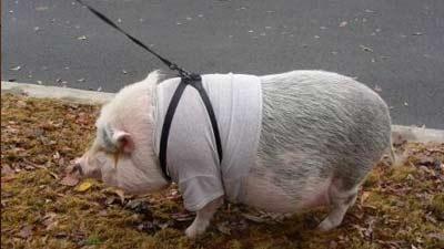 pot boilled pig