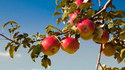 kebun buah buahan oregon