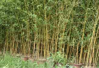 bambu yang berantakan
