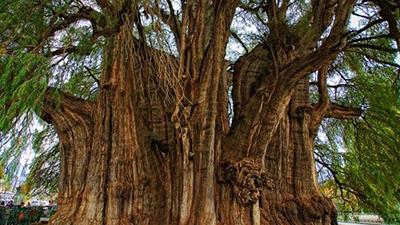 Arbor del Tule