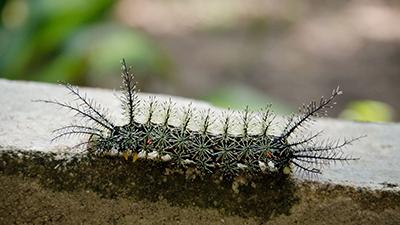 Lonomia Caterpillar