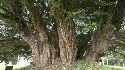 The Ashbrittle Yew