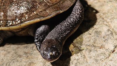 Tortoise Neck Snake Rote
