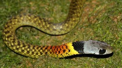 ular picung
