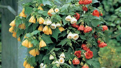 abutilon plant