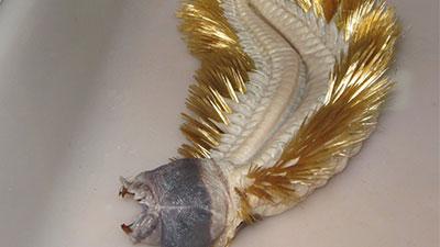 antarctic scale worm