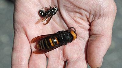 killer hornet