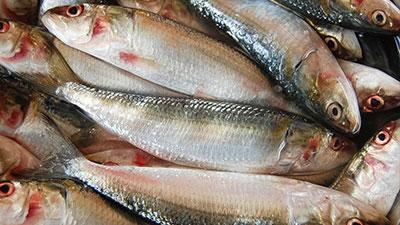 Herring and sardines