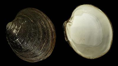 Icelandic Clam