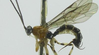 Polysphincta Gutfreundi