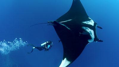 giant ocean manta ray