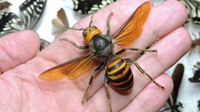 Giant Japanese Hornets