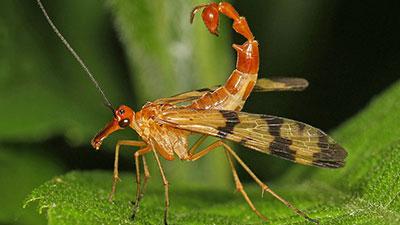 scorpionfly