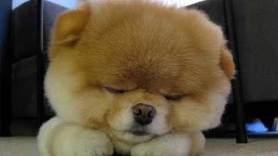 anjing terkecil mr boo