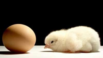 ayam dan telur