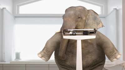 berat gajah