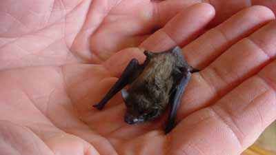 kelelawar terkecil di dunia kitti hog nosed bat