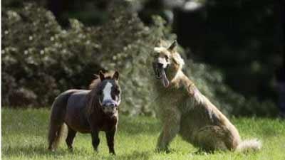 kuda terkecil di dunia thumbelina