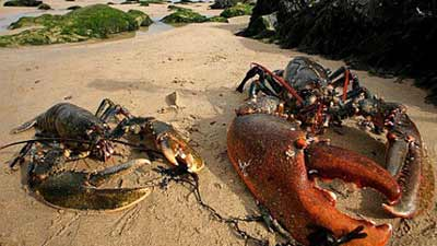 lobster besar