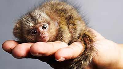 pygmy marmoset monyet terkecil