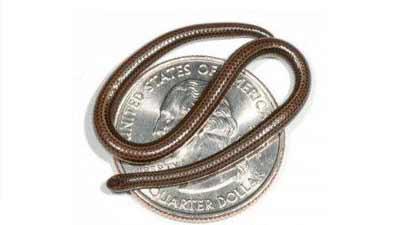 ular terkecil leptotyphlops carlae