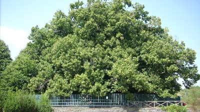 Castagnu de Centu Cavaddi adalah pohon di gunung Etna yang dapat berumurkan sekitar 4.000 tahun