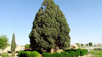 Zoroastrian Sarv adalah salah satu pohon tertua dunia dengan umur perkiraan adalah 4000 tahun