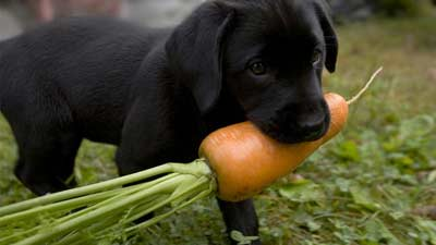 Fakta ternyata anjing itu makan sayur-sayuran dan buah-buahan